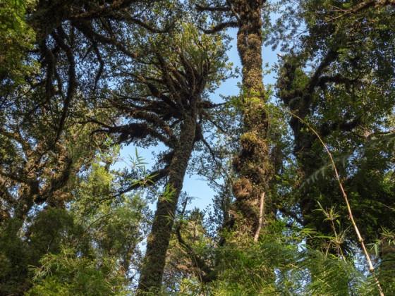 Mächtige Bäume im Regenwald des Pumalin NP