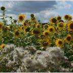 Sonnenblumen 2019