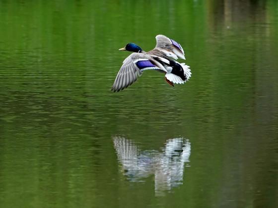 Flug-Ente