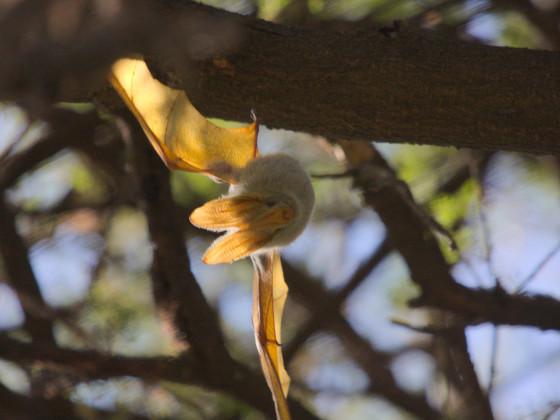 Gelbflügel-Fledermaus
